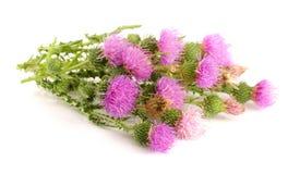 Κάρδος λουλουδιών που απομονώνεται στην άσπρη μακροεντολή υποβάθρου Στοκ Εικόνα