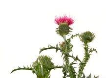 κάρδος λουλουδιών στοκ φωτογραφίες με δικαίωμα ελεύθερης χρήσης