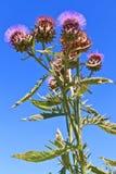 κάρδος λουλουδιών Στοκ εικόνες με δικαίωμα ελεύθερης χρήσης