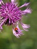 κάρδος λουλουδιών ladybug Στοκ Φωτογραφία