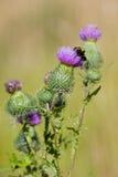κάρδος μελισσών Στοκ εικόνα με δικαίωμα ελεύθερης χρήσης
