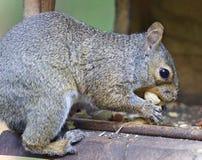 Κάρτα με έναν αστείο σκίουρο που τρώει τα καρύδια Στοκ Εικόνες