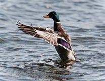 Κάρτα με έναν πρασινολαίμη που παρουσιάζει φτερά σε μια λίμνη Στοκ Εικόνες