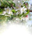 Κάρτα με τον ανθίζοντας κλάδο δέντρων μηλιάς Στοκ Εικόνα