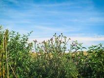 Κάρδοι και ουρανός Στοκ φωτογραφίες με δικαίωμα ελεύθερης χρήσης