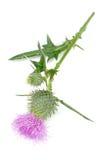 Κάρδος γάλακτος (Silybum Marianum) με το ρόδινο λουλούδι που απομονώνεται στο άσπρο υπόβαθρο στοκ εικόνες με δικαίωμα ελεύθερης χρήσης