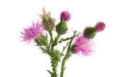 Κάρδος λουλουδιών που απομονώνεται στην άσπρη μακροεντολή υποβάθρου Στοκ φωτογραφίες με δικαίωμα ελεύθερης χρήσης
