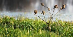 Κάρδος Στοκ φωτογραφία με δικαίωμα ελεύθερης χρήσης