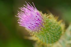 Κάρδος Wavyleaf - undulatum Cirsium Στοκ φωτογραφίες με δικαίωμα ελεύθερης χρήσης