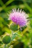 Κάρδος Wavyleaf - undulatum Cirsium Στοκ Φωτογραφίες