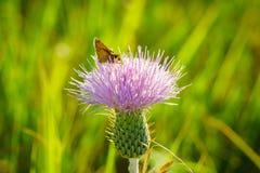 Κάρδος Wavyleaf - undulatum Cirsium Στοκ Εικόνες