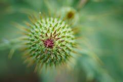Κάρδος Wavyleaf - undulatum Cirsium Στοκ φωτογραφία με δικαίωμα ελεύθερης χρήσης