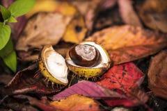 Κάστανα αλόγων και φύλλα φθινοπώρου, Οξφόρδη UK Στοκ εικόνα με δικαίωμα ελεύθερης χρήσης
