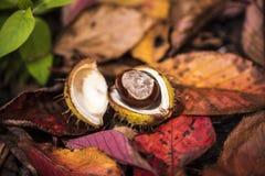 Κάστανα αλόγων και φύλλα φθινοπώρου, Οξφόρδη UK Στοκ Φωτογραφίες