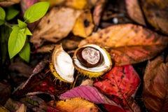 Κάστανα αλόγων και φύλλα φθινοπώρου, Οξφόρδη UK Στοκ φωτογραφία με δικαίωμα ελεύθερης χρήσης