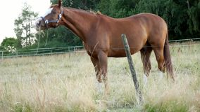 Κάστανο ή καφετί άλογο με τη μακροχρόνια βοσκή Μάιν σε έναν τομέα κοντά στο δάσος απόθεμα βίντεο
