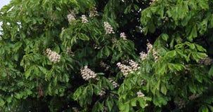 Κάστανο αέρα και αλόγων, hippocastanum aesculus, ανθίζοντας δέντρο, Νορμανδία στη Γαλλία, σε αργή κίνηση φιλμ μικρού μήκους
