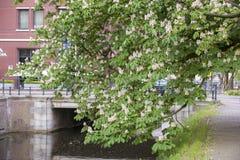 Κάστανο αλόγων Στοκ εικόνες με δικαίωμα ελεύθερης χρήσης