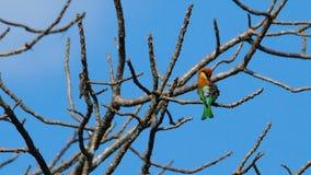 Κάστανο-διευθυνμένος μέλισσα-τρώγων σε ένα δέντρο απόθεμα βίντεο