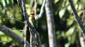 Κάστανο-διευθυνμένο δέντρο ona μέλισσα-τρωγόντων απόθεμα βίντεο