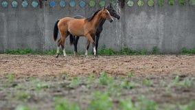 Κάστανο και γκρίζο άλογο απόθεμα βίντεο
