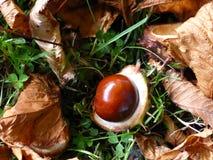Κάστανο πεσμένος από ένα δέντρο το φθινόπωρο στοκ εικόνες