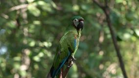 Κάστανο που αντιμετωπίζεται macaw σε ένα πάρκο στον Ισημερινό απόθεμα βίντεο