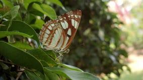 Κάστανο-ραβδωμένη πεταλούδα ναυτικών στο Κεράλα στοκ εικόνες