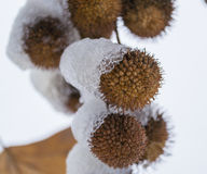 Κάστανο το χειμώνα Στοκ φωτογραφία με δικαίωμα ελεύθερης χρήσης