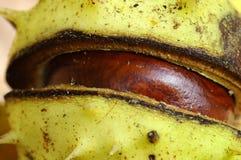 κάστανο castanea Στοκ εικόνες με δικαίωμα ελεύθερης χρήσης