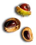κάστανο castanea Στοκ Εικόνες