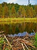 κάστορας πίσω από τη λίμνη φρ&al Στοκ φωτογραφίες με δικαίωμα ελεύθερης χρήσης