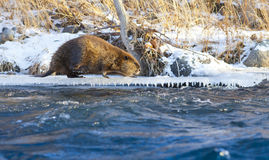 Κάστορας στην όχθη ποταμού Στοκ Εικόνες