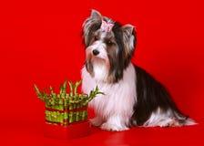 Κάστορας Υόρκη σε ένα κόκκινο υπόβαθρο Άσπρο σκυλί και πράσινο μπαμπού Στοκ φωτογραφία με δικαίωμα ελεύθερης χρήσης