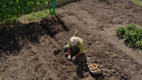 Κάτοικος που συμμετέχεται θερινός στο σκάψιμο των πατατών απόθεμα βίντεο