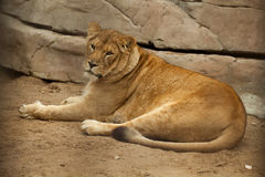 κάτω από να βρεθεί λιονταρ&i Στοκ Φωτογραφία