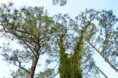 κάτω από τα δέντρα πεύκων Στοκ Φωτογραφίες