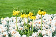 κάτω από τα imperialis fritillaria wiew Στοκ εικόνα με δικαίωμα ελεύθερης χρήσης