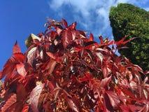 Κάτω από τον πυροβολισμό είναι φθινόπωρο-χρωματισμένα φύλλα αμπέλων στοκ εικόνες με δικαίωμα ελεύθερης χρήσης