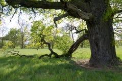Κάτω από τους κλάδους του παλαιού δρύινου δέντρου την άνοιξη Στοκ εικόνα με δικαίωμα ελεύθερης χρήσης