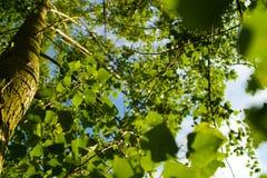 κάτω από το δέντρο ενάντια ανασκόπησης μπλε σύννεφων πεδίων άσπρο σε wispy ουρανού φύσης χλόης πράσινο Στοκ Εικόνα