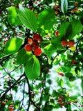 Κάτω από το δέντρο κερασιών Στοκ Φωτογραφίες