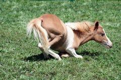 κάτω από foal να βρεθεί το palomino στοκ φωτογραφία