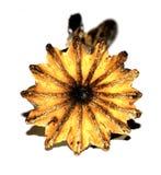 Κάψα σπόρου Στοκ φωτογραφία με δικαίωμα ελεύθερης χρήσης