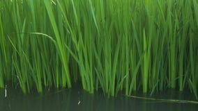 Κάλαμοι από την όχθη ποταμού Στοκ Εικόνες