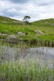 Κάλαμοι και λίμνη ποταμών στον τρόπο ιρλανδικών αγελάδων Στοκ Φωτογραφίες