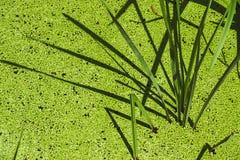 Κάλαμοι και duckweeds Στοκ φωτογραφία με δικαίωμα ελεύθερης χρήσης