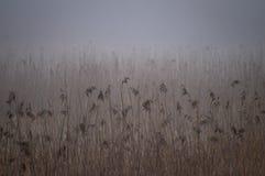 Κάλαμοι σε μια fogy περιοχή υγρότοπου Στοκ φωτογραφία με δικαίωμα ελεύθερης χρήσης