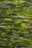 Κάλαμοι στην ηλιοφάνεια Στοκ εικόνες με δικαίωμα ελεύθερης χρήσης