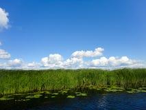 Κάλαμοι στη λίμνη και το μπλε ουρανό με τα σύννεφα Στοκ Εικόνα